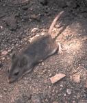 Southern_grasshopper_mouse